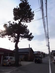 東海道 名残の一本松(3710)