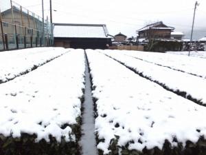 大悲山法光寺付近の茶畑(度会町棚橋)