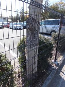 お白石持行事で奉曳車が激突した木(外宮 北御門口付近)