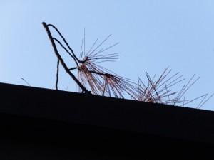 斎舎の屋根に落ちた松の枝(御塩殿神社)