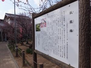 臥龍梅の説明板(新開臥龍梅公園)