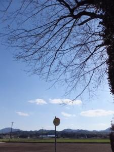 小社神社の桜