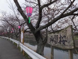 桧尻川(伊勢市)の桜「神習桜」