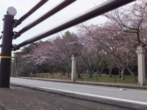 御幸道路の桜(神宮徴古館 駐車場側の倭姫宮参道付近)