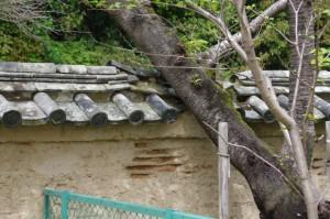 塀を欠いて伸びるオヤネザクラ(旧豊宮崎文庫)2012-04-15