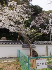 修復された練塀とオヤネザクラ(旧豊宮崎文庫)