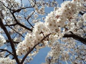 小木町公民館(伊勢市)前の桜