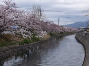 桧尻川(伊勢市)の桜