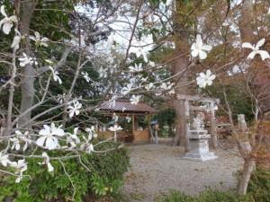 箕曲神社のコブシ(伊勢市小木町)