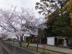 箕曲神社の桜(伊勢市小木町)