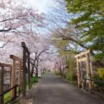宮川堤の桜(楠大明神付近)