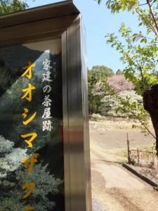「家建の茶屋跡 オオシマザクラ」の説明板とオオシマザクラ