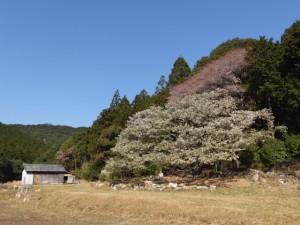 「家建の茶屋跡」のオオシマザクラ