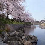 磯部川の桜(志摩市磯部町)