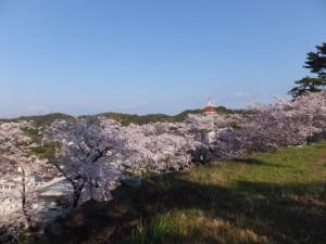 鳥羽城址の桜