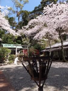賀多神社の桜(鳥羽市)