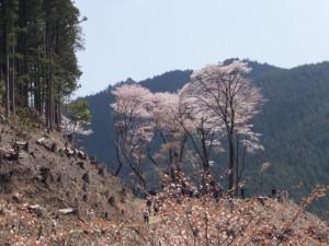 西行庵へ下る坂道の途中から望む四方正面堂跡の桜