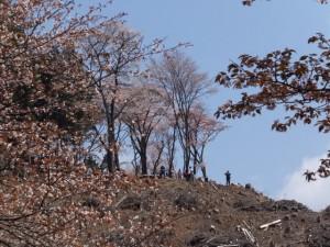西行庵付近から望む四方正面堂跡の桜