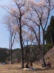 四方正面堂跡の桜