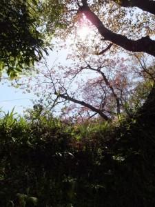 桜展示園付近へ