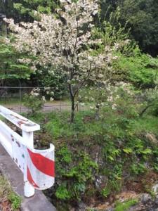 御衣黄桜(伊勢市横輪町)