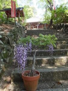 参道に置かれた鉢植えの藤(太江寺)