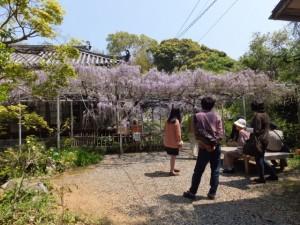 藤棚(太江寺)
