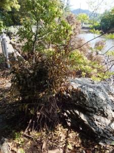 松下社付近の池畔に置かれた榊巻?