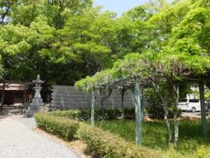 すでに花が散った藤棚(御薗神社)
