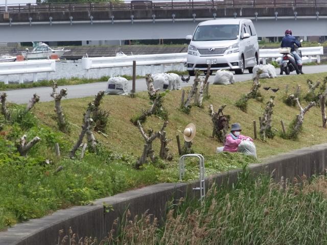 伐採されたハマボウの群生(浜郷小学校記念公園)