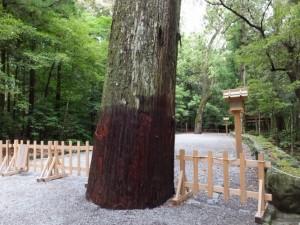 竹の覆いが外された神宮杉(内宮)