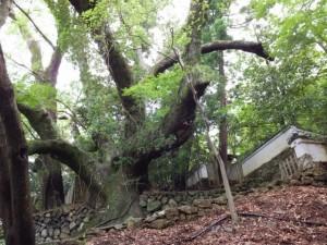 大水神社裏の巨木と林崎文庫の裏門