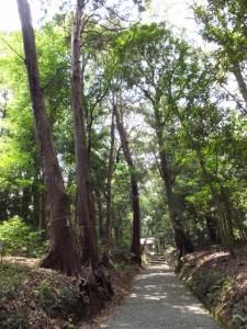 阿射加神社、参道に立つ御神木(松阪市大阿坂町)
