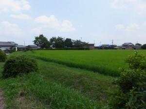 阿射加神社付近の田んぼ(松阪市大阿坂町)