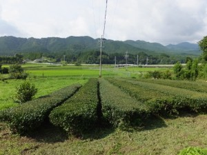久具都比賣神社付近の茶畑
