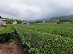 茶畑(度会町麻加江)