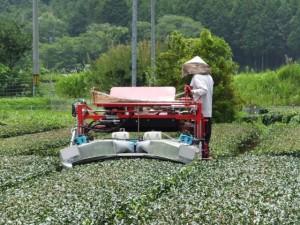 茶畑、お茶の木の剪定作業(度会町麻加江)