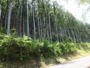 徳林寺前の杉林(度会町当津)