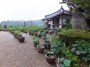 多宝山地蔵院 青蓮寺の蓮