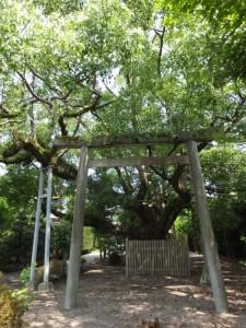 御塩道(神の木と呼ばれる大楠)