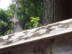 外宮 御正宮旧宮の板垣に芽吹いたスギの苗