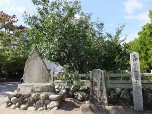 子安観音寺の不断桜