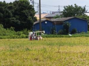 湯田神社付近に広がる田んぼにて稲刈り