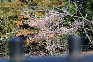 宇治橋から望む桜?(内宮)
