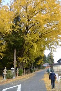 積田神社の大イチョウ(名張市夏見)