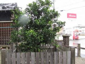 橘神社の常柑子(2010年10月31日時点)