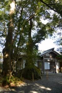 宿衛屋の脇に立つ巾着楠(伊雜宮)