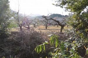 津布良神社(皇大神宮末社)付近の柿畑