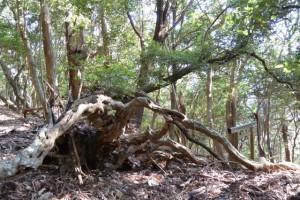 五本松神社付近の倒木