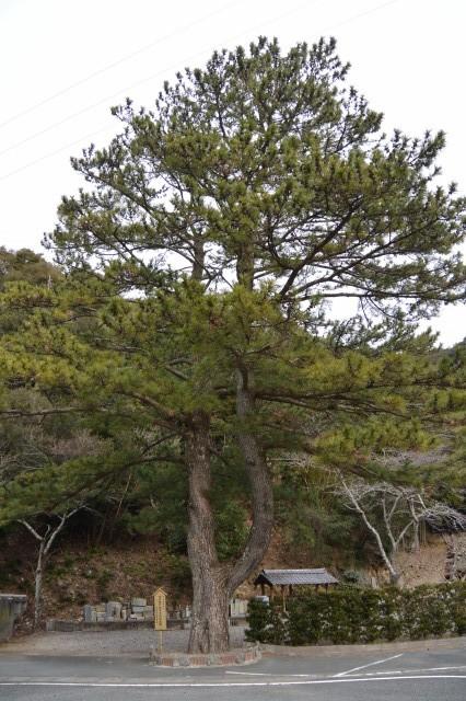 アイグロマツ、南伊勢町指定天然記念物 その松の木に近づくと アイグロマツ、南伊勢町指定天然記念物